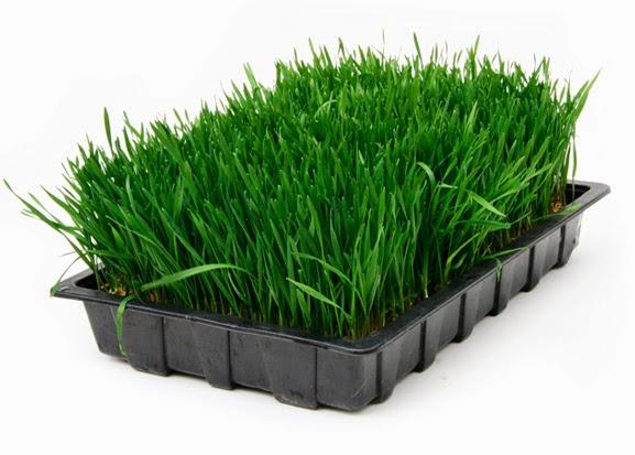 Khay trồng cỏ lúa mì