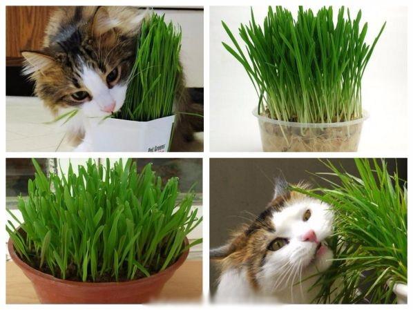 Sử dụng cỏ lúa mì cho thú cưng